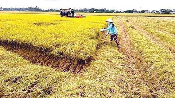 Miền Trung lúa được mùa, giá cao