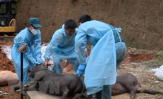 Lực lượng chức năng tiêu hủy đàn lợn nhiễm tả lợn Châu Phi tại huyện Bảo Thắng. (Ảnh: Quốc Khánh/TTXVN)