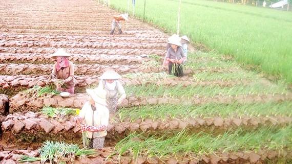Chuyển đổi trồng màu hiệu quả hơn cây lúa