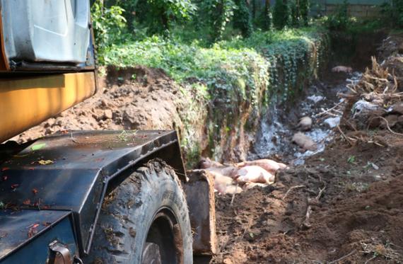Heo bệnh trên địa bàn huyện Phú Giáo vừa được tiêu hủy