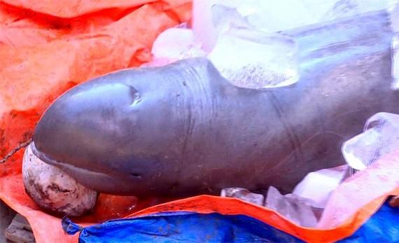 檳椥省漁民捕獲河豚