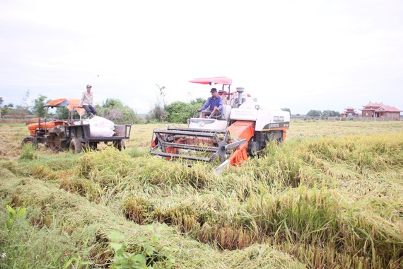 Người dân Quảng Trị hối hả gặt lúa sau khi lũ rút. Ảnh: NGUYỄN HOÀNG
