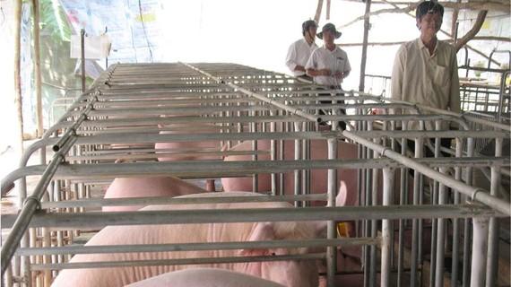 Nuôi heo theo quy mô công nghiệp, mô hình mà nông dân ĐBSCL cần liên kết
