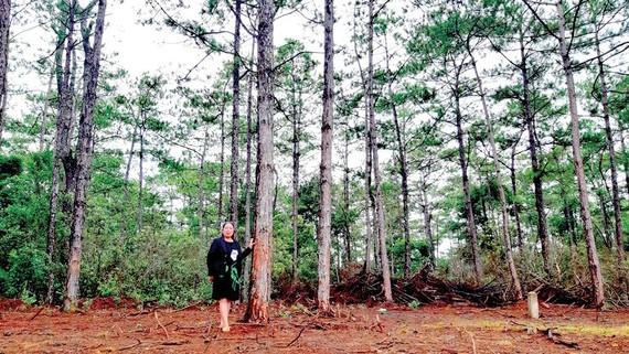 Rừng thông trên Măng Đen do chính tay công nhân xí nghiệp trồng
