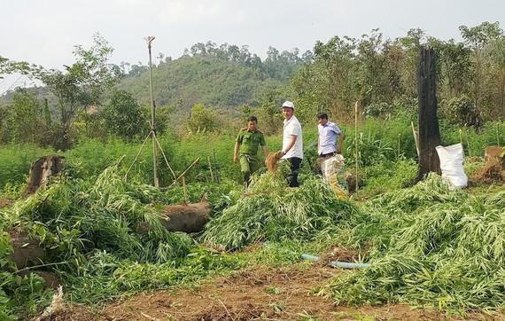 Cơ quan chức năng nhổ bỏ cây cần sa