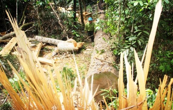 Gỗ rừng cổ thụ bị lâm tặc cưa hạ