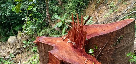 Để lâm tặc đốn hạ gần 100m³ gỗ, Chủ tịch UBND huyện Tuyên Hóa chỉ rút kinh nghiệm