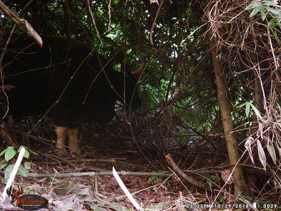 Bò tót tại Rào Con do chương trình bẫy ảnh của PNKB thực hiện.