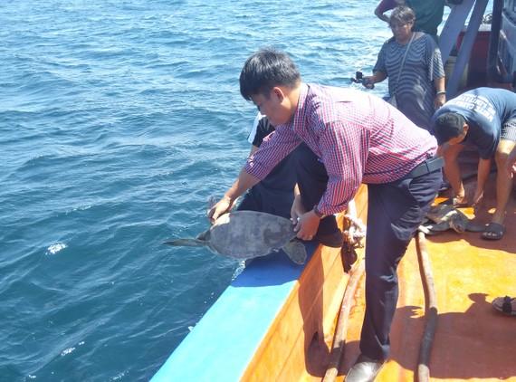Rùa biển được thả về môi trường tự nhiên. Ảnh: VĨNH THUẬN