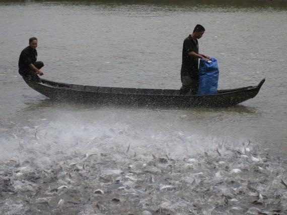 Chuỗi liên kết giá trị nuôi cá tra được xem là hướng đi bền vững, tuy nhiên việc chọn doanh nghiệp không uy tín, khiến chuỗi bị đổ vỡ đáng tiếc