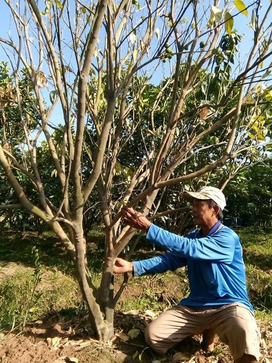 Hơn 2.000 ha cây có múi bị chết vàng, chết xanh
