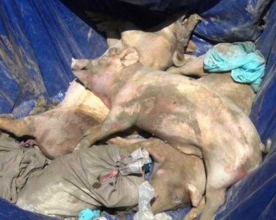 Tiêu hủy heo bị dịch bệnh ở huyện Tân Hiệp, tỉnh Kiên Giang