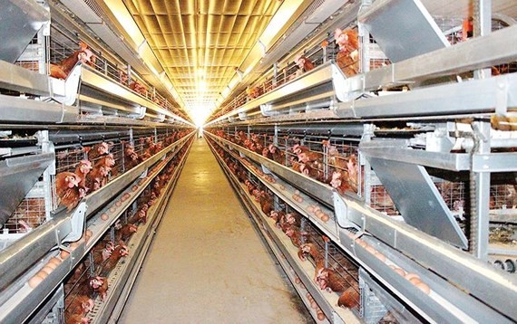 Poultry farming industry of Vietnam has great potential and advantage for export. (Photo: SGGP)
