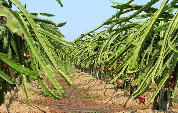 The price of dragon fruits in Binh Thuan hits a record high. (Photo: SGGP)