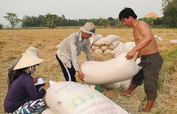 Traders buy fresh regular paddy at VND4,300 per kilogram which is fairly low. (Photo: SGGP)