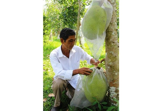 The price of Thai jackfruits in Mekong Delta provinces is unstable. (Photo: SGGP)