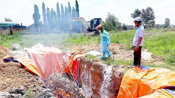 Sick pigs are being destroyed. (Photo: SGGP)