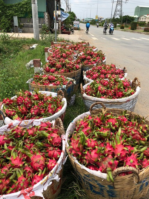 Farmers expand dragon fruit area in spite of declining prices