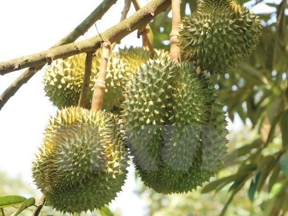 Durians are among fruit specialties of Soc Trang province (Photo: VNA)