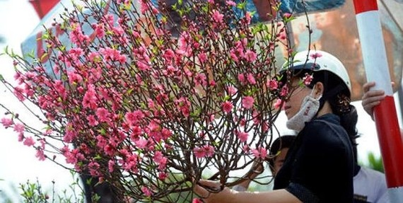 Local airlines carry apricot, peach blossoms for Tet holidays from January 15