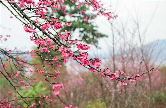 There are about 1,000 cherry trees on Pa Khoang island, which bloom brilliantly during spring (January to April) (Source: VNA)