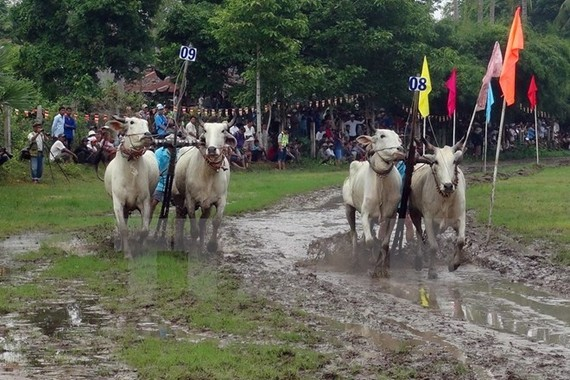 The Bay Nui ox racing festival will be part of the An Giang Tourism Month slated for May 16-25 (Photo: VNA)