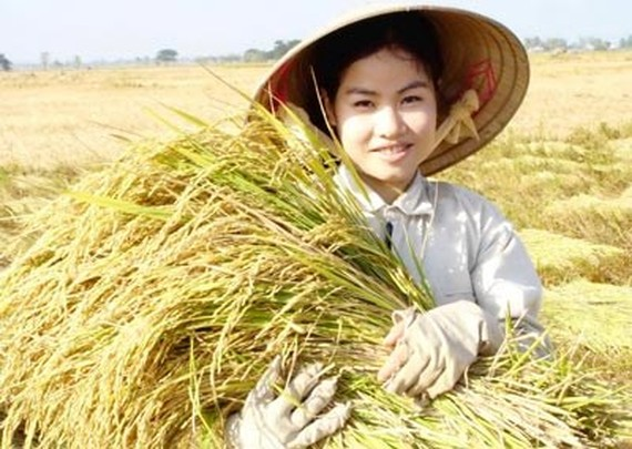 Harvesting rice in Dong Thap Province (Photo: SGGP)