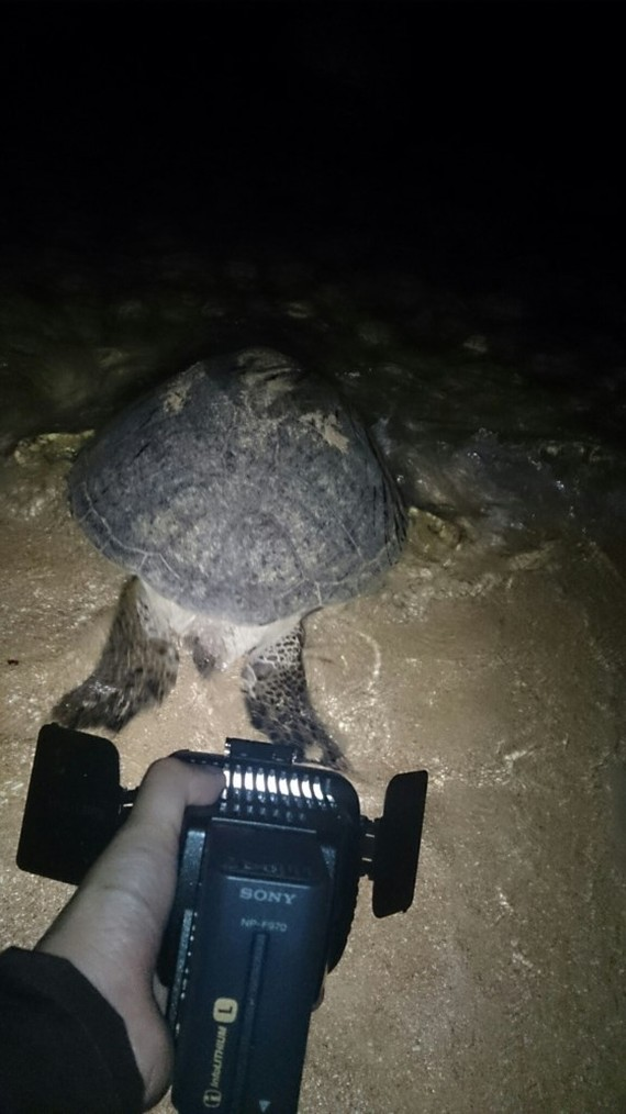 the turtle lays eggs in the shore in Hon Cau Island (Photo: SGGP)