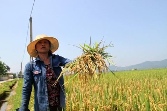 Farmers are in despair because of crop loss (Photo: SGGP)