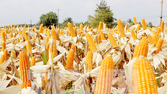 Farmers encouraged to plant new maize strain to rise productivity