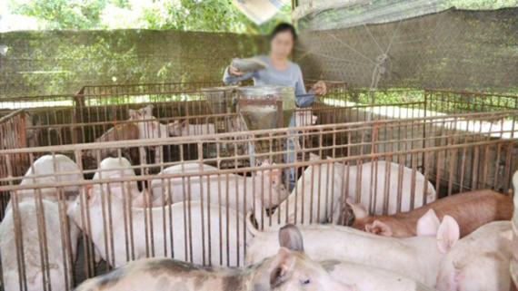 Vietnam strives to curb the use of antibiotic in the husbandry of livestock (Photo: SGGP)