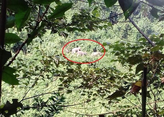 Đàn voi rừng từng xuất hiện ở xã Quế Lâm vào tháng 2.2017.