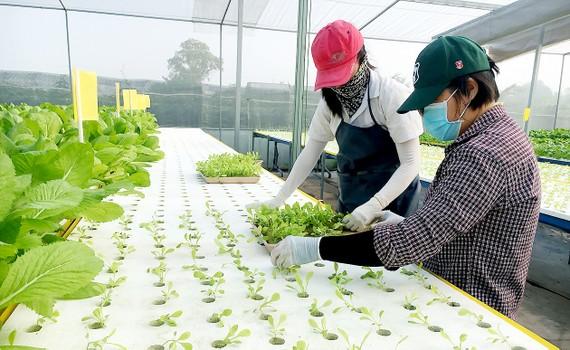 Nhà màng trồng rau công nghệ cao của nông dân Lê Văn Dễ (huyện Hóc Môn)