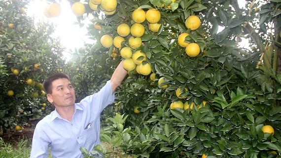 Ông Dương Đình Tấn, Chủ nhiệm HTX Tấn Thanh, trong vườn cam được dán tem truy xuất nguồn gốc