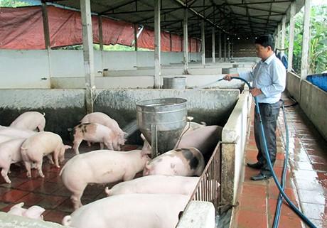 Ngân hàng bảo đảm nguồn vốn lâu dài người chăn nuôi lợn