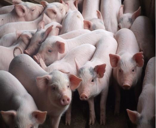 Giá thịt heo giảm 9,94% so tháng trước