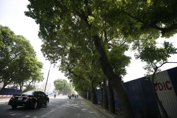 Hà Nội chưa quyết định chặt hạ, di chuyển hơn 1.300 cây xanh