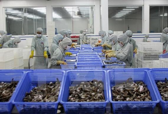 Chế biến tôm xuất khẩu tại Hậu Giang.