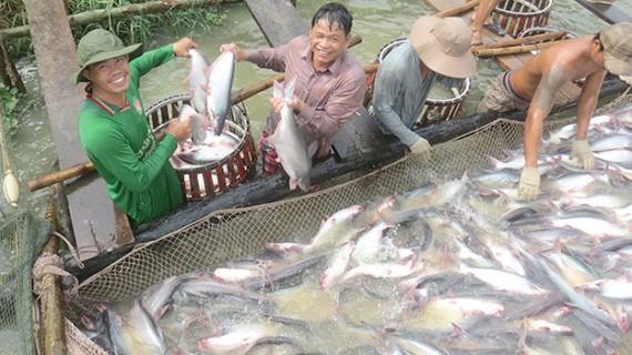 Người sản xuất và nuôi cá tra đều có lãi
