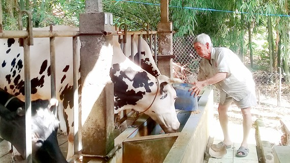 Xã viên của HTX Long Hòa nuôi bò sữa phát triển kinh tế gia đình