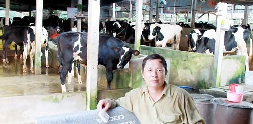 Nuôi bò sữa tại huyện Củ Chi