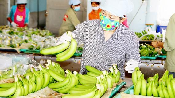 Sơ chế chuối ở trang trại trồng chuối xuất khẩu sang Nhật Bản của ông Võ Quan Huy (Long An) Ảnh: PHIÊU NHIÊN