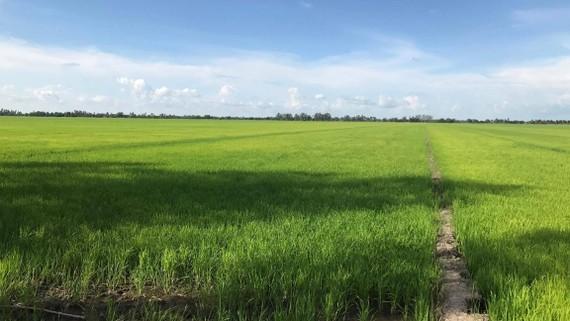 Xuống giống lúa thu đông tại huyện Tân Hiệp, tỉnh Kiên Giang. Anh: ĐÀO THỤY