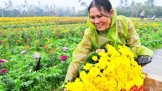 Trồng hoa mạng lại thu nhập tốt cho người nông dân dịp Tết Nguyên Đán
