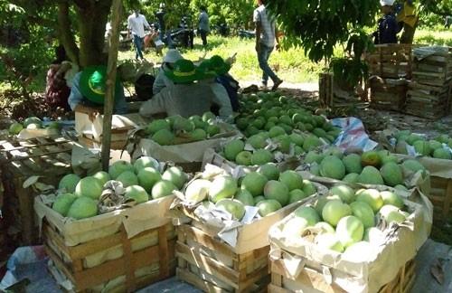 Khánh Hòa sử dụng hiệu quả phân bón Phú Mỹ trên cây xoài