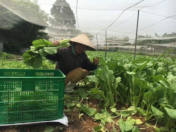 Nông dân trồng rau sạch VietGap cung ứng cho HTX Phú Lộc                                                                                      Ảnh: THANH HẢI