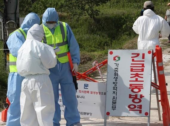 Nhân viên y tế tiêu hủy gia cầm tại một trang trại ở Busan ngày 5-6-2017. Ảnh: YONHAP