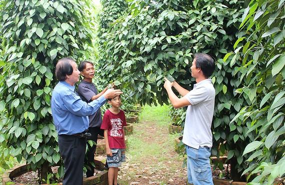 Khách tham quan vườn tiêu của ông Nguyễn Văn Quốc                                                           . Ảnh: TÔN PHÚC