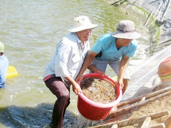 Shrimp breeding in Soc Trang province (Photo: SGGP)
