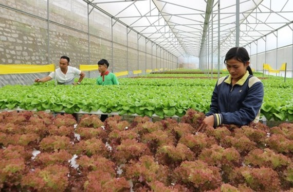 Clean vegetable farming in Ward 5, Da Lat city (Photo: SGGP)